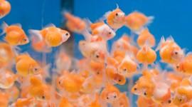 Golden Fish Wallpaper HQ
