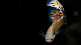 Guppy Photo Download