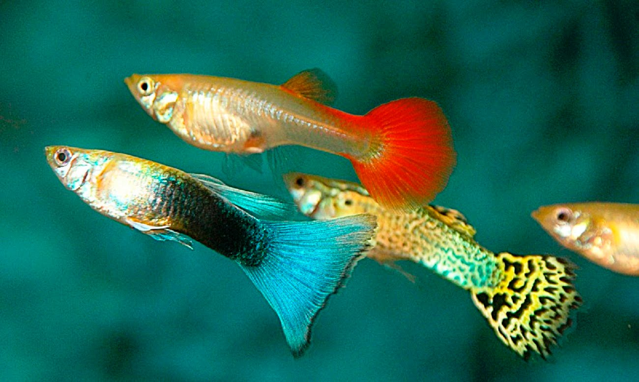 Guppy Wallpapers High Quality Download Free