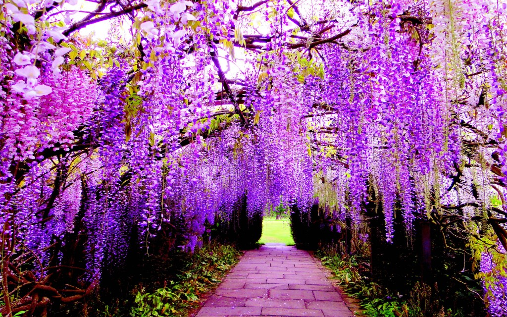 Huge Wisteria in Japan wallpapers HD