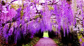 Huge Wisteria in Japan Best Wallpaper