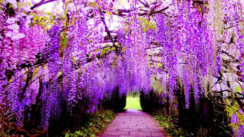 Huge Wisteria in Japan wallpapers high quality