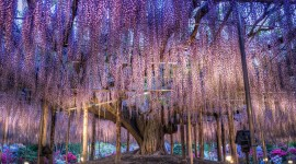 Huge Wisteria in Japan Image
