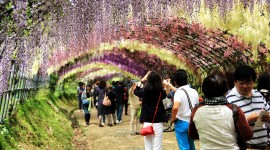 Huge Wisteria in Japan Photo