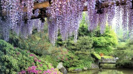 Huge Wisteria in Japan Photo Download