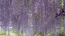 Huge Wisteria in Japan Photo Free