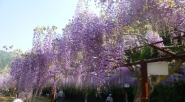 Huge Wisteria in Japan Photo#1