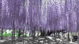 Huge Wisteria in Japan Wallpaper 1080p