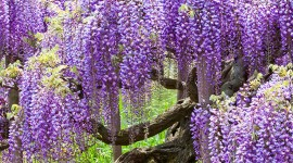 Huge Wisteria in Japan Wallpaper