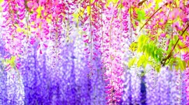 Huge Wisteria in Japan Wallpaper Background