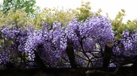 Huge Wisteria in Japan Wallpaper Download