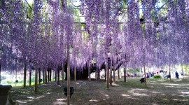 Huge Wisteria in Japan Wallpaper Free