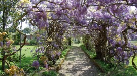 Huge Wisteria in Japan Wallpaper Full HD