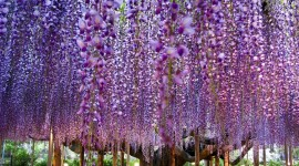Huge Wisteria in Japan Wallpaper Gallery