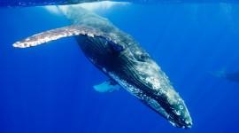 Humpback Whale Desktop Wallpaper
