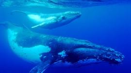 Humpback Whale Photo Download