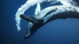 Humpback Whale Photo Free