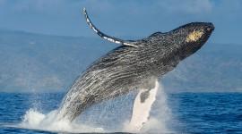 Humpback Whale Photo#1