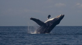 Humpback Whale Photo#3