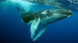 Humpback Whale Wallpaper 1080p