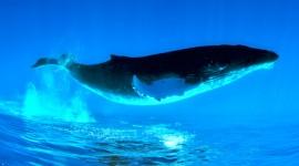 Humpback Whale Wallpaper 1080p#1