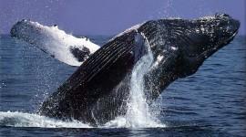Humpback Whale Wallpaper Download