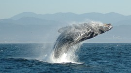 Humpback Whale Wallpaper For PC