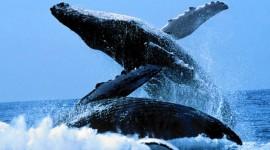 Humpback Whale Wallpaper Free