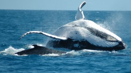 Humpback Whale Wallpaper Full HD