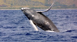Humpback Whale Wallpaper Gallery