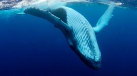 Humpback Whale Wallpaper HQHumpback Whale Wallpaper HQ