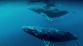Humpback Whale Wallpaper HQ#2
