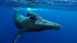Humpback Whale Wallpaper HQ#3