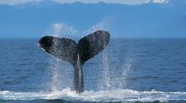Humpback Whale Wallpaper#1