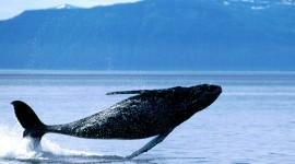 Humpback Whale Wallpaper#2