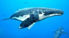 Humpback Whale Wallpaper#3