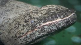 Japanese Giant Salamander Photo#3