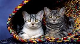 Kittens In Basket Desktop Wallpaper For PC