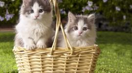 Kittens In Basket Photo Free
