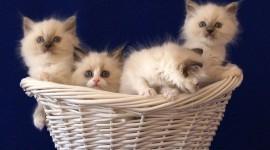 Kittens In Basket Wallpaper Free