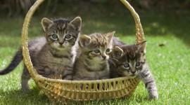 Kittens In Basket Wallpaper Full HD
