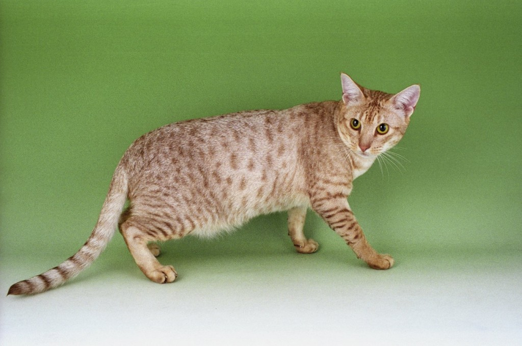 Ocicat wallpapers HD