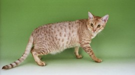 Ocicat Best Wallpaper