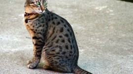 Ocicat Desktop Wallpaper HD