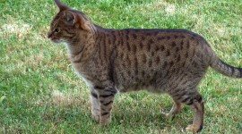 Ocicat Photo Download