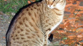 Ocicat Wallpaper For IPhone Download