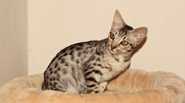 Ocicat Wallpaper Gallery