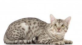 Ocicat Wallpaper HQ