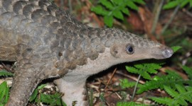 Pangolin Desktop Wallpaper For PC