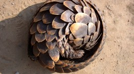 Pangolin Desktop Wallpaper HD